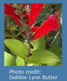 photo of pineapple sage blooms by Debbie Lynn Butler the E-Content Butler