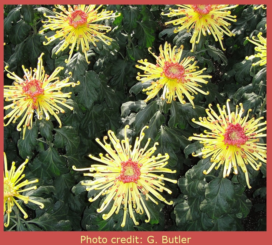 Photo of lemon yellow spider mums with salmon-colored centers by G. Butler for the E-Content Butler